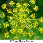 aneth-fennel-fleur-banque-de-photographie_csp39706102
